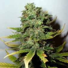 Super Skunk Auto Feminised